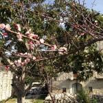 Casale Corneto albicocco in fiore