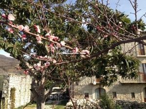 Casale Corneto albicoccoin fiore